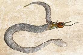 Сколопендра в змее