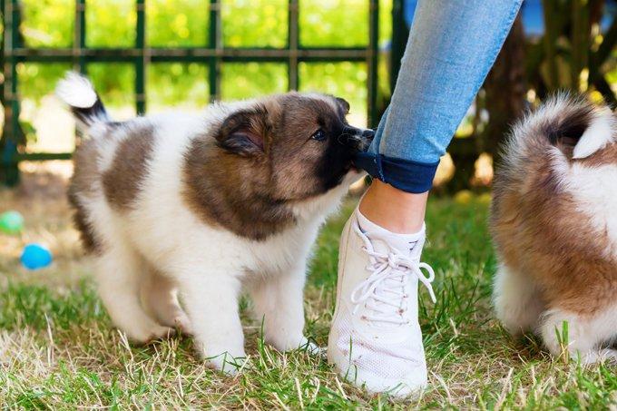 щенок кусает ноги