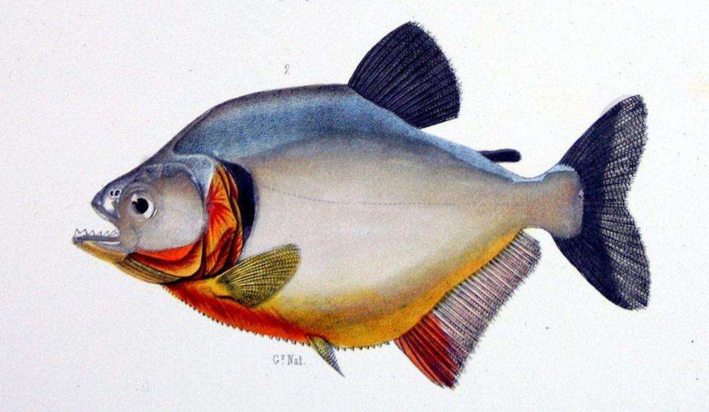 Зубастые рыбы