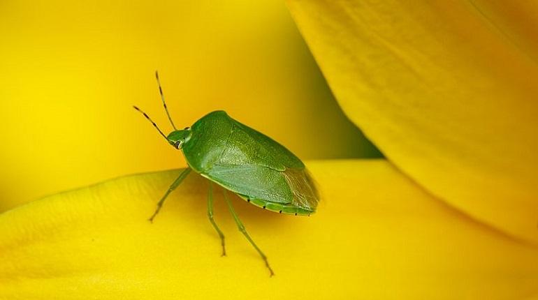 зеленая вонючка