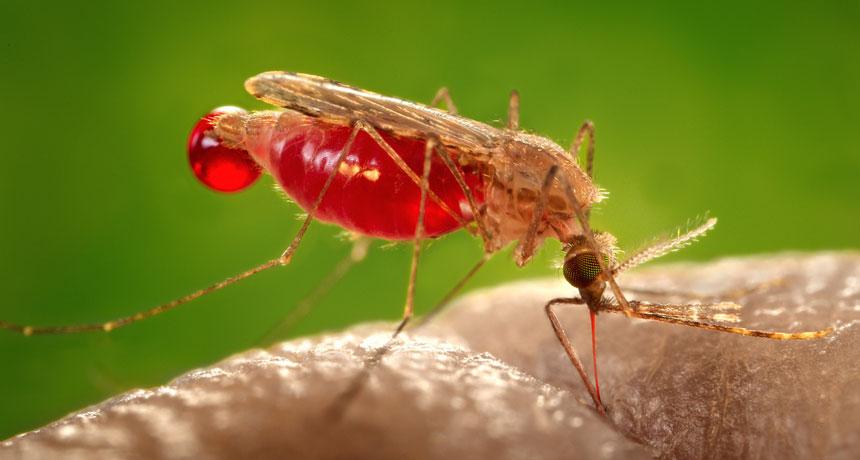 живет комар