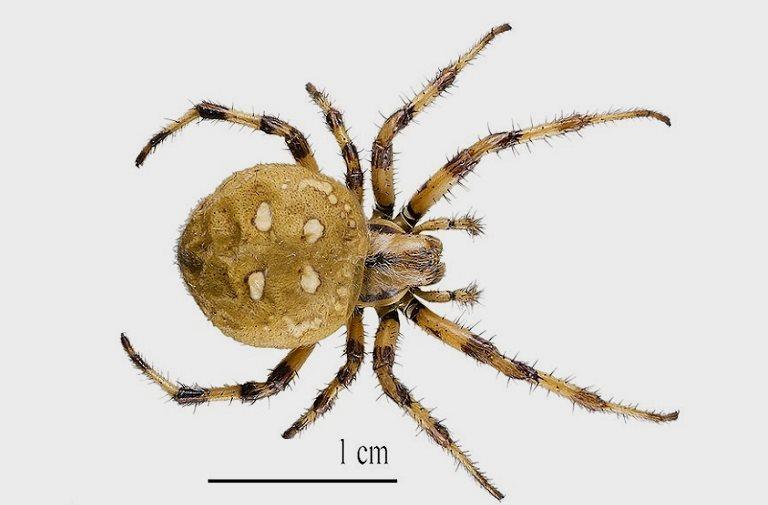 размер паука