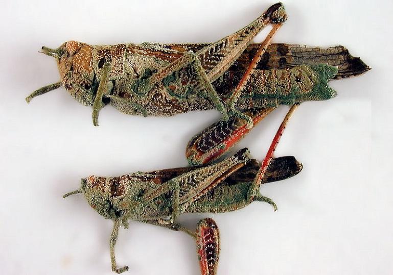 гибок на насекомом