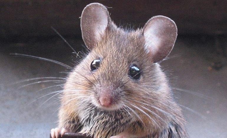 лесная мышка