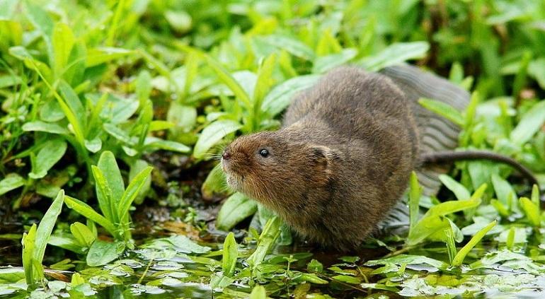 водяная мышка